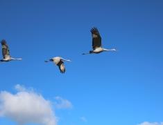 September - Sandhill cranes at Lapham Peak