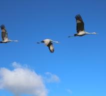 Sandhill cranes, Lapham Peak State Park