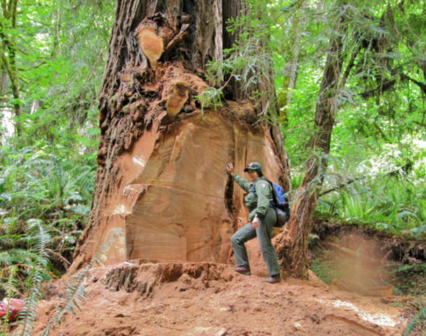 Redwood Poachers