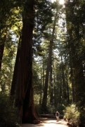 Coastal redwoods - taller but not as big around as sequoia gigantea