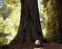 Sequoia sempervirens