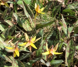 more trout lillies