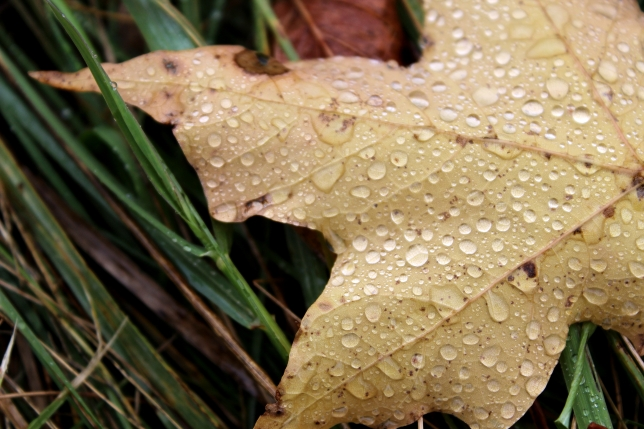maple drops