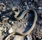 snakelet