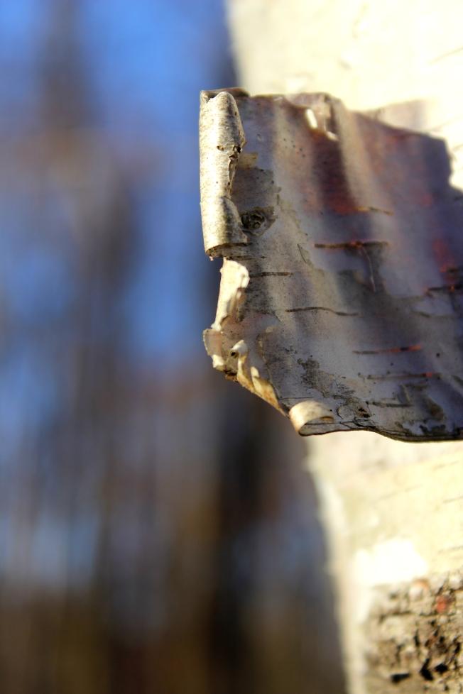 birch-bark