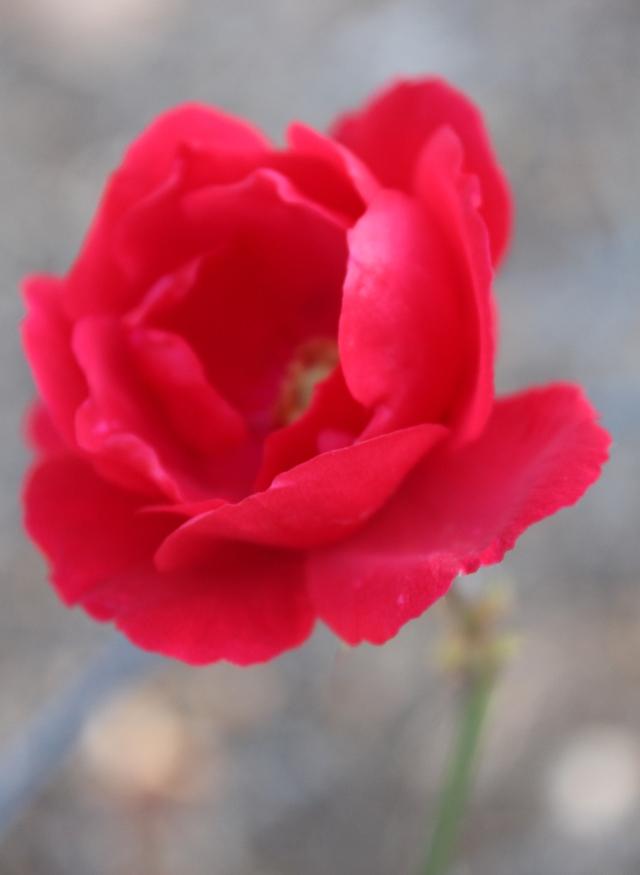 warm-rose