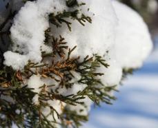 cedar-snow