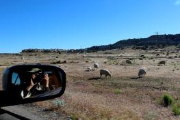 hovenweep sheep