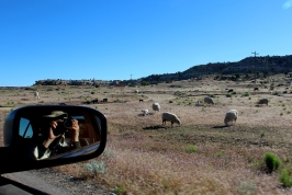hovenweep sheep