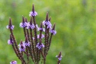 blue vervain prairie flower