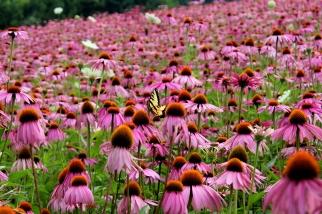 echinacea field