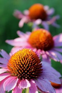 prairie cone flowers