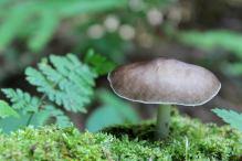 gray mushroom