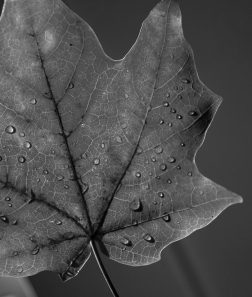black & white leaf