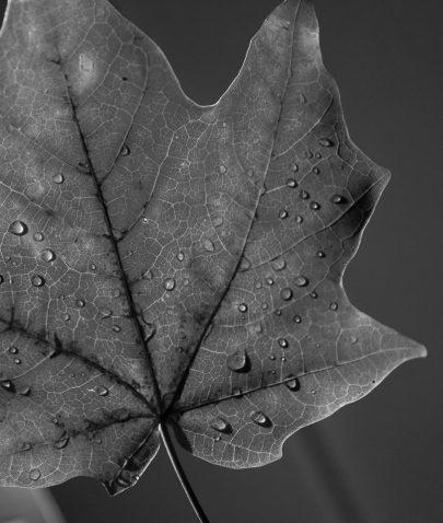 black & white leaf
