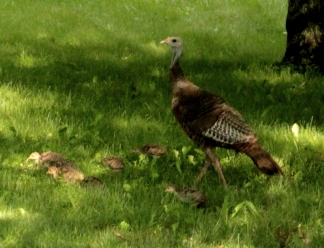 turkey brood