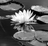 mono lotus