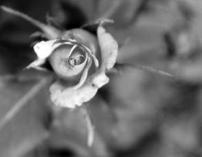 mono rose